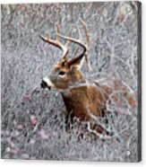 Deer On A Frosty Morning  Acrylic Print