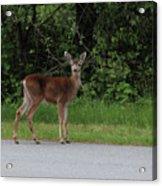 Deer On Road Acrylic Print