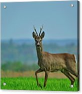 Deer On The Field Acrylic Print