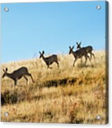 Deer on the run Acrylic Print