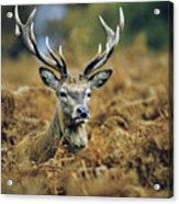 Deer Rests In Bracken Acrylic Print
