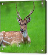 Deer Ruminating Acrylic Print