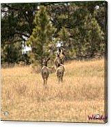 Deer Tails Acrylic Print
