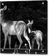 Deer Tracks Acrylic Print