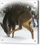 Deer With An Itch Acrylic Print
