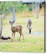 Deer18 Acrylic Print