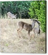 Deer24 Acrylic Print