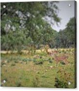 Deer48 Acrylic Print