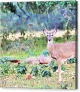 Deer50 Acrylic Print