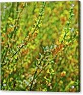 Deerweed In Rancho Santa Ana Botanic Gardens, Claremont-california Acrylic Print