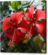 Dehradun China Rose Acrylic Print