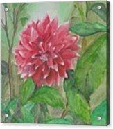 Dahlia Flower Grown In Apartment Garden Acrylic Print