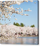 Delicate Blossoms Over The Tidal Basin Acrylic Print