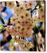 Delicate Blossoms Acrylic Print