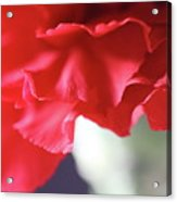 Delicate Carnation  Acrylic Print