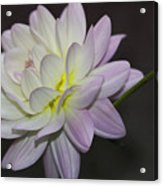 Delicate Dahlia Balance Acrylic Print