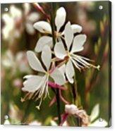 Delicate Gaura Flowers Acrylic Print