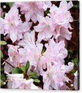 Delicate Pink Azaleas Acrylic Print by Carol Groenen
