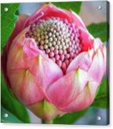 Delicate Pink Bud Waratah Flower Acrylic Print