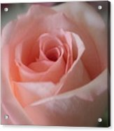 Delicate Pink Rose Acrylic Print