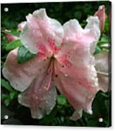 Delicate Pinks In Rain - Flower Photography Acrylic Print