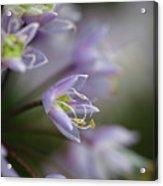 Delicate Purple Flowers Acrylic Print
