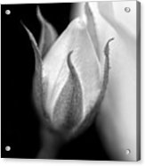Delicate Rose Bud Black And White  Acrylic Print
