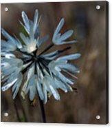 Delicate Silver Wildflower Acrylic Print