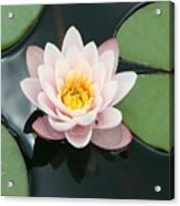 Delicate Waterlily Acrylic Print