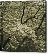 Delicate White Dogwood Blossoms Cover Acrylic Print