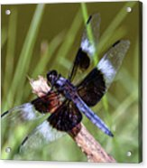Delicate Wings Of A Dragonfly Acrylic Print