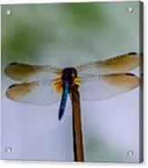 Delicate Wings Acrylic Print