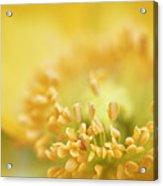 Delicate Yellow Poppy Acrylic Print