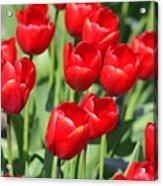 Delicious Tulips Acrylic Print