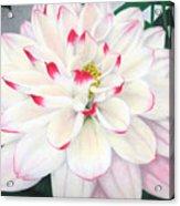 Delightful Dahlia Acrylic Print
