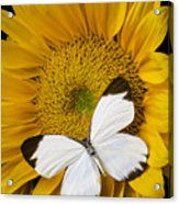 Delightful White Butterfly Acrylic Print