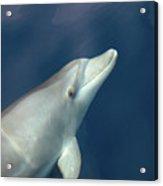 Delphin 3 Acrylic Print