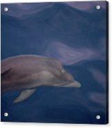 Delphin 9 Acrylic Print