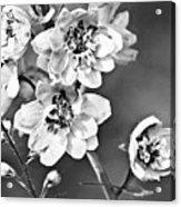 Delphinium Black And White Acrylic Print