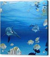 Delphinus Acrylic Print