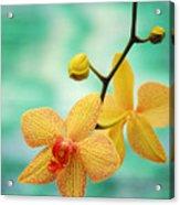 Dendrobium Acrylic Print