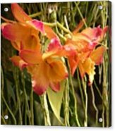 Dendrobium Orchids Acrylic Print
