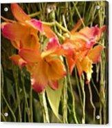 Dendrobium Orchids Acrylic Print