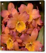 Dendrobium Oriental Smile Acrylic Print