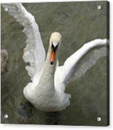 Denmark, Copenhagen Swan Flaps Her Wing Acrylic Print