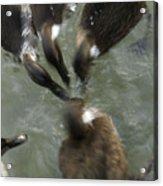 Denmark Group Of Ducks Ducking Acrylic Print