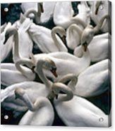 Denmark Swans Gathered On A Lake Acrylic Print