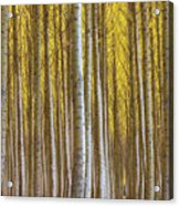 Dense Forest Of Poplar Trees In Boardman Oregon During Fall Acrylic Print