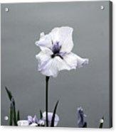 Desaturated Japanese Water Iris 2707 H_5 Acrylic Print