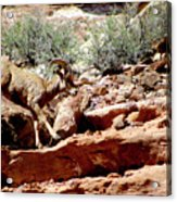 Desert Bighorn Ram Walking The Ledge Acrylic Print
